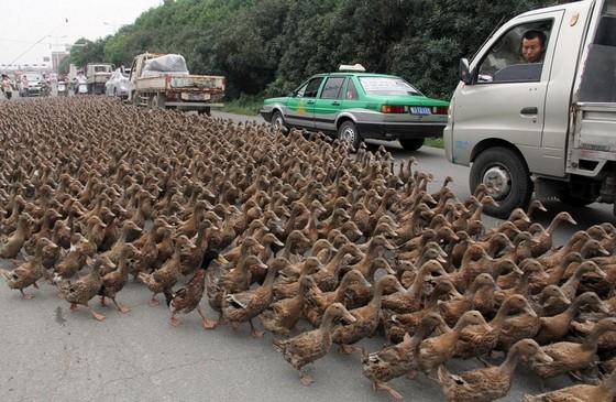 Des canards par milliers