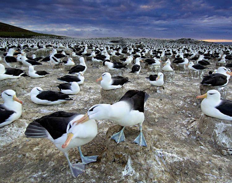 migration des albatros