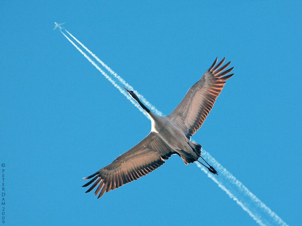 oiseau migrateur
